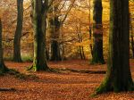 Mighty Beech trees in sunny autumn forest