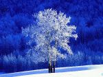 Frosted aspen tree standing in a snow covered meadow, British Columbia, Canada