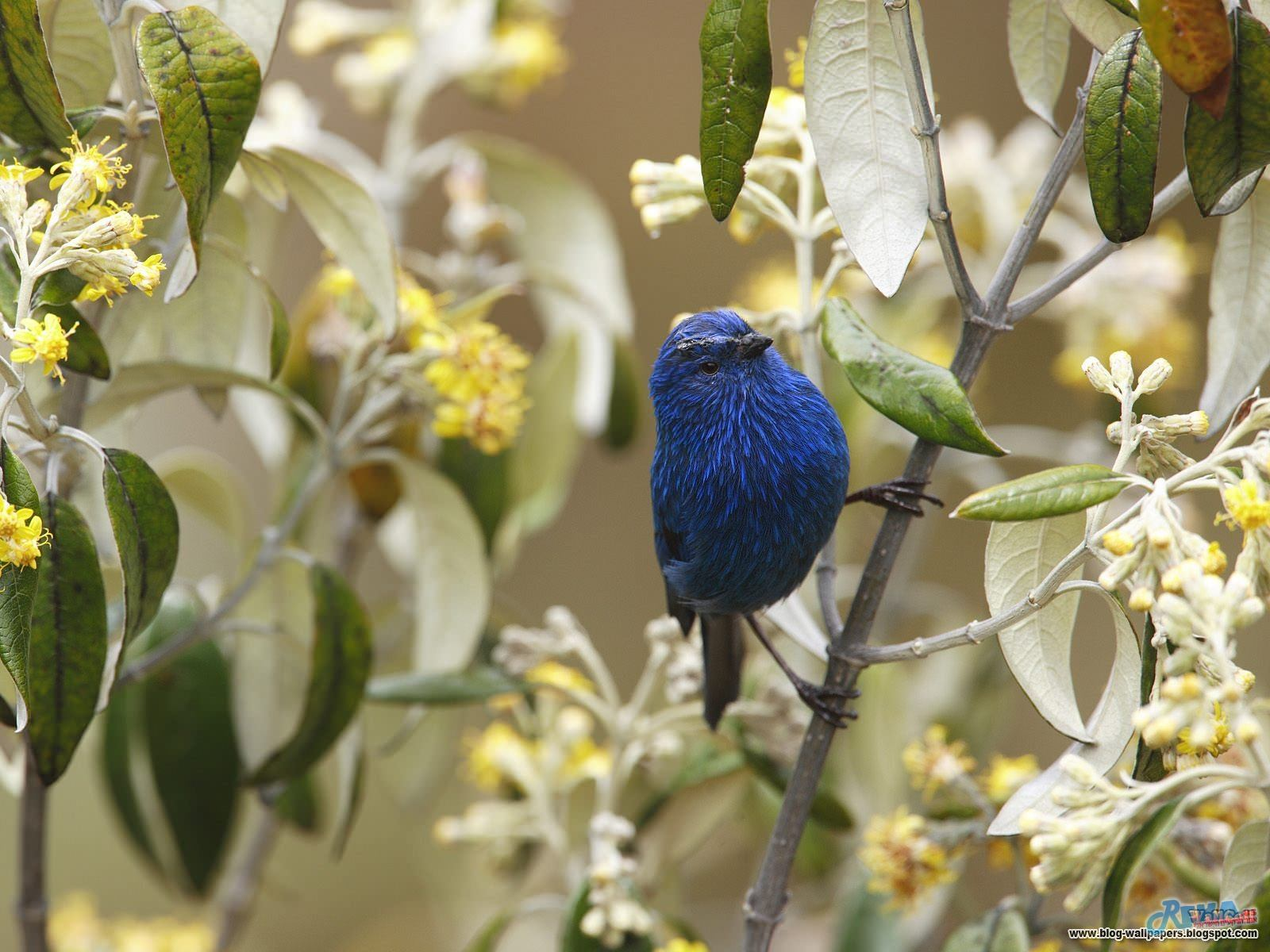 Blue-and-Black Tanager Andes Peru.jpg