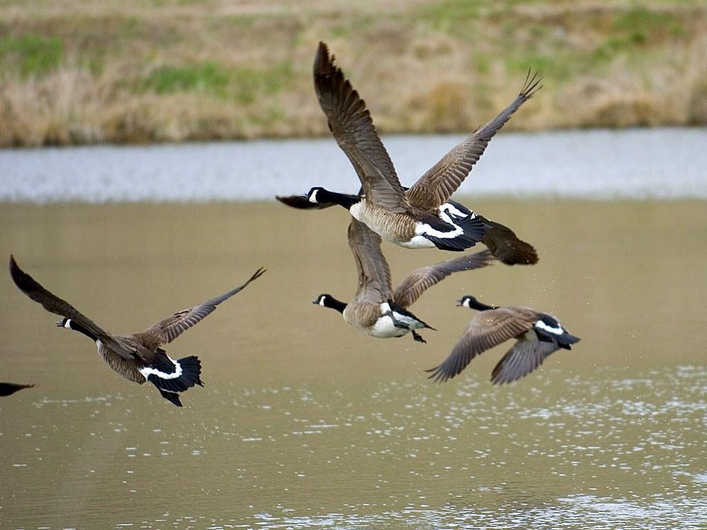Geese_taking_flight.jpg