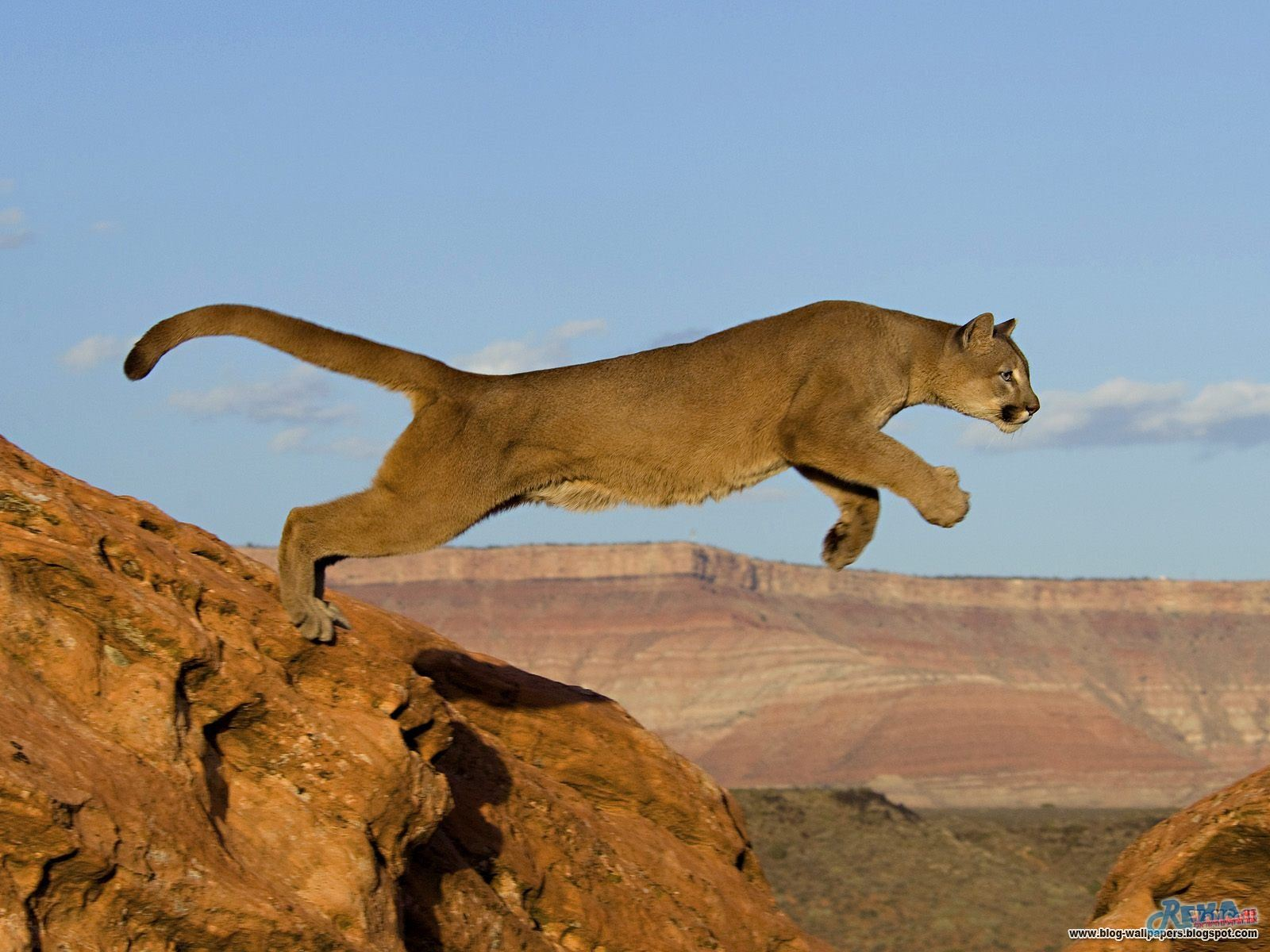 Leaping Mountain Lion.jpg
