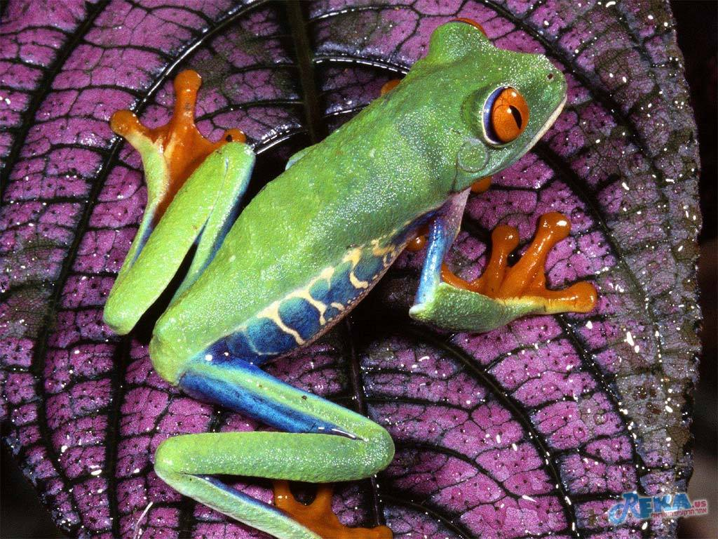 Red_-_Eyed_Tree_Frog,_Central_America.jpg