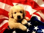 American_Puppy.jpg