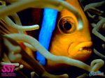 AnemoneFishPalau_wall.jpg