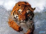 Bathing_tiger.jpg