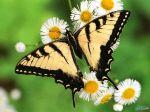 Butterfly_-_Tiger_Swallowtail.jpg