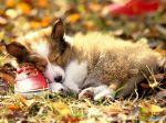 Collie_Puppy_-_Collie_Dog.jpg