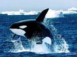 Emerging_Killer_Whale.jpg