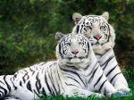 Family_feline,_Tigers.jpg