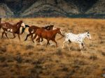 Horses Wallpapers 1920x1200-7