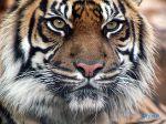 Indian_Tiger.jpg