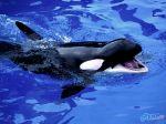 Killer_Whale.jpg