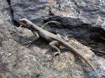 Lizard_on_the_rock.jpg