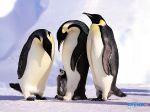 Penguines_-_Manchots.jpg