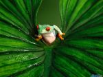 Red_-_Eyed_Tree_Frog.jpg