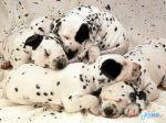Sweet_Dreams,_Dalmatian_Puppies.jpg