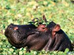 The Flirt, Hippopotamus.jpg