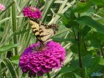 butterfly_zinnia1280x960.jpg