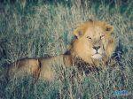 kenya-lion-xga.jpg
