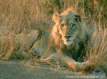 lion_1024768.jpg