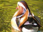 mandarin_duck.jpg