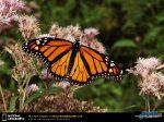 monarch-butterfly.jpg