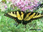 tigerswallowtail1024.jpg