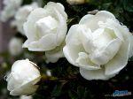 flowers_018