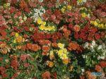 flowers_229