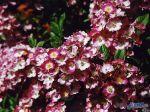 flowers_233