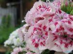 flowers_261