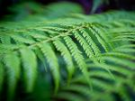 Green ferns, Blue Mountains, New South Wales, Australia