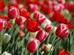 00787_tulipsinspring_2560x1600