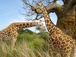 00821_giraffegathering_2560x1600