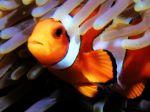Clownfish-85