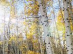 Aspen Trees in Fall 1080x1920