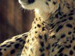 Cheetah_1080x1920