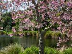 Cherry_blossom_Spring_1080x1920