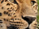 Leopard_1080x1920