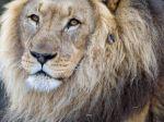 Lion_Male_1080x1920