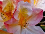 Rhododendron blooms in May in Sussex, UK beautiful colours