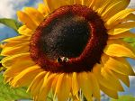 Sunflowers_1080x1920