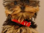Yorkshire Terrier Galaxy Note 3 Wallpapers
